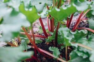 Les vertus médicinales de la rhubarbe